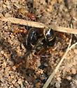 Ants w/ Bee  - Dorymyrmex bureni