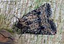 Unknown Moth - Homorthodes hanhami