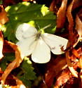 Margined White?? - Pieris marginalis - female
