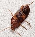seed-eating ground beetle - Amara rubrica - female