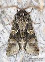 Noctuidae - Psaphida resumens - male