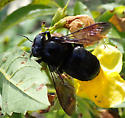 maybe Xylocopa ? - Xylocopa micans - female