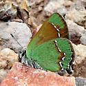 Callophrys affinis? - Callophrys affinis