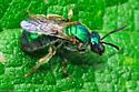 Pure Green - Augochlorella