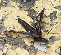 A Moth or Not a Moth? Black Mystery ... - Albuna fraxini
