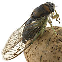 cicada id please - Neotibicen tibicen
