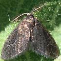 Tiny moth - Fulgoraecia exigua