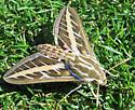 Golf Course Moth? - Hyles lineata