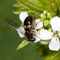 Syrphid fly - Pipiza