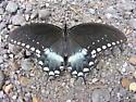 Probable Spicebush Swallowtail - Papilio troilus