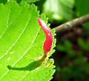Gall on elm leaves