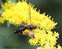 Wasp caught by ambush - Pimpla pedalis - female