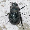 BG1532 223-027a - Phyllophaga cribrosa