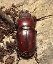 Reddish-brown Stag Beetle, dorsal - Lucanus capreolus - female