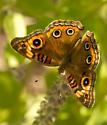 Buckeye - Junonia genoveva