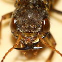 Gold-and-brown Rove Beetle - Ontholestes cingulatus
