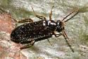 beetle - Mycetochara