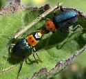 Kissin' beetles - Collops bipunctatus - male - female
