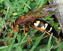 Cicada Killer side view - Sphecius speciosus - female