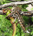 Big Robber - Promachus truquii - male