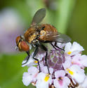 Fly on frogfruit - Gymnoclytia