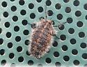 Fat, hairy bug! With some orange scaling or marking. - Lycia rachelae - female