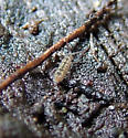Elongate-bodied Springtail - Isotomurus