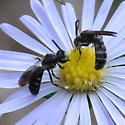 Slender Halictid Nectaring on Vining Aster - Lasioglossum fuscipenne