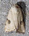Plataea blanchardi - Micrathetis costiplaga