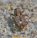 Weevil (Piazorhinus genus?) - Lechriops oculatus