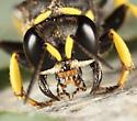 Crabronidae? - Crabro