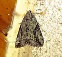 Little Nymph Underwing - Catocala micronympha