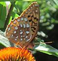 butterfly 1 - Speyeria cybele