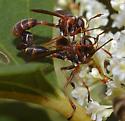 Mating Flies [=Physocephala?] ID Request - Physocephala sagittaria - male - female