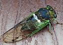 Cicada ID - Neotibicen tibicen