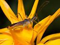 Leafhopper Assassin Bug - Zelus renardii