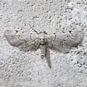 Exelis ophiurus - male