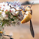 Tabanid - individual #3 - Pegasomyia - female