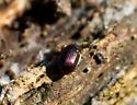 Small Brown Beetle - Ipelates latus