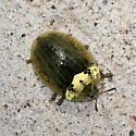 beetle - Physonota alutacea
