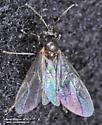 Ant - Lasius