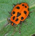 ladybug - Coleomegilla maculata