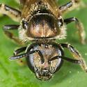 Lasioglossum Sweat Bee - Lasioglossum - female