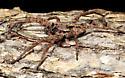 Lycosid - Gladicosa pulchra - male