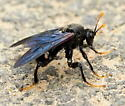 Elm sawfly - Cimbex americanus - male