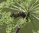 unknown caterpillar - Papilio