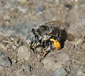 Bee species? - Anthophora urbana