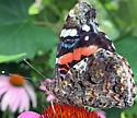 Butterfly - Vanessa atalanta