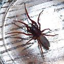 Brown Spider - Dysdera crocata