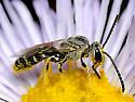 Bee on Showy Daisy - male